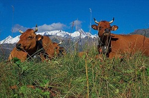 Tarine cows in the Beaufortain, French Alps