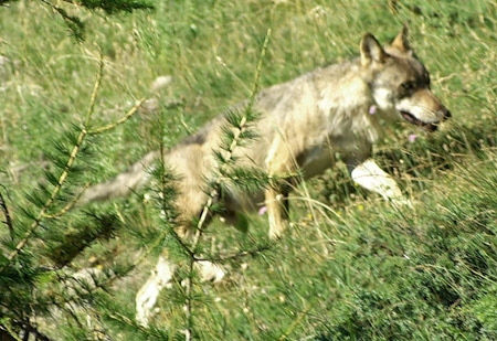 European Grey Wolves are present in the Southern Alps